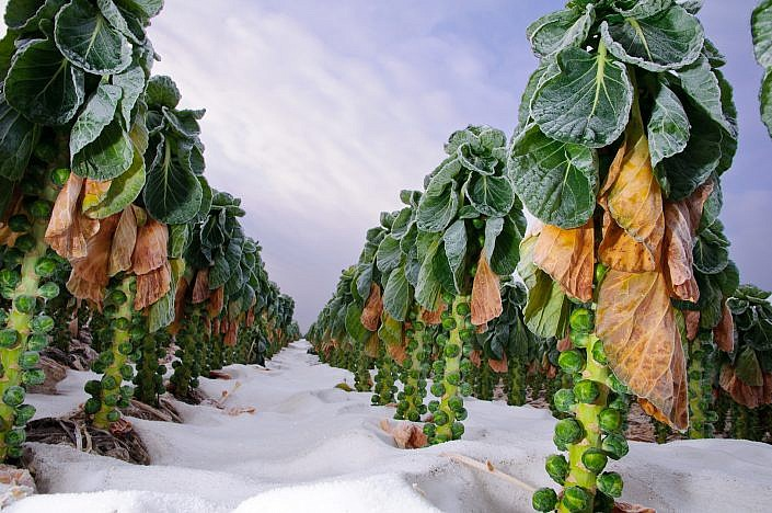Dutch sprouts wintertime | Roelof Foppen Photography